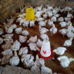 Chicks at Lukupa